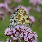 Marbled white mating