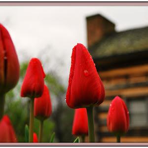 Rocky Mount TN Tulips.jpg