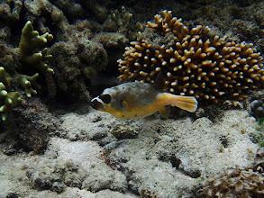 Photo: Arothron nigropunctatus (Dog-face Puffer), Miniloc Island Resort reef, Palawan, Philippines.
