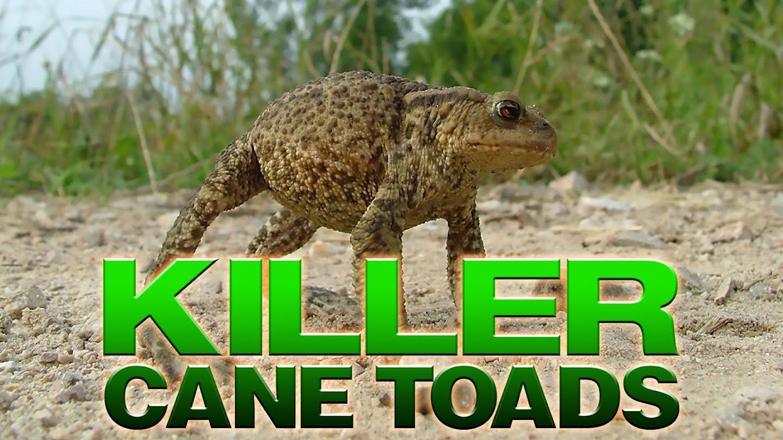 Watch Killer Cane Toads live
