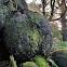 Sitka spruce burls