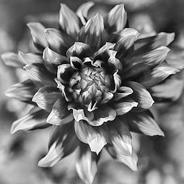 Bicolored Dahlia by Marco Bertamé - Black & White Flowers & Plants ( blooming, petals, summer, bloom, dahlia, bicolor )