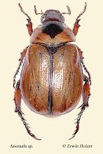 Photo: Anomala sp. (5), 12 mm, Costa Rica, La Cruz (11°07´/-83°36´), leg. Erwin Holzer, det. Angel Solis