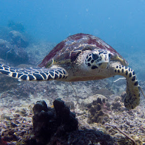 Hawksbill Turtle by Daniel Sasse - Animals Reptiles ( reptiles, underwater, scuba, diving, turtle, animal, motion, animals in motion, pwc76 )
