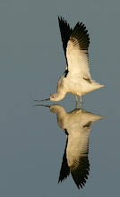 "Photo: Shot of the Day - American Avocet saying ""good morning"" with a great stretch.."