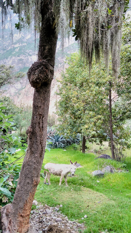 a cute donkey in canyon del colca arequipa peru