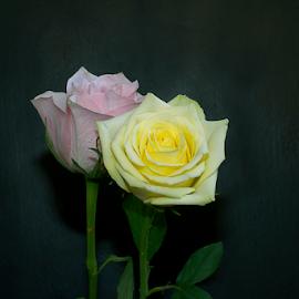 beautiful roses by LADOCKi Elvira - Flowers Flower Arangements ( rose, flowers, roseflowers, garden )
