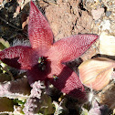 African Starfish flower, Carrion flower (with Blow flies & Flesh flies)