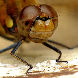 Male Common Darter by Pat Somers - Animals Insects & Spiders