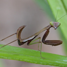 Praying Mantis by Lee Newman - Animals Insects & Spiders ( bug-eyed, tiny, macro, insect, praying mantis )