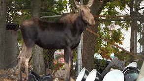 Moose in the City thumbnail