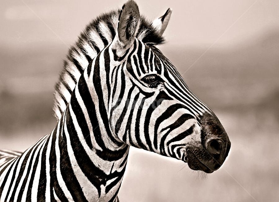 Zebra Colt by Pieter J de Villiers - Black & White Animals