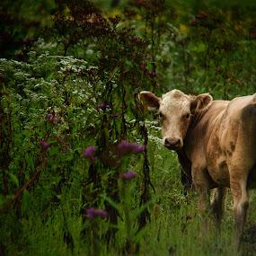 MoooooVE Along by Kara Brothers - Animals Other Mammals ( farm animals, farm, field, nature, bovine, cow, farming, rural, cows, animal )