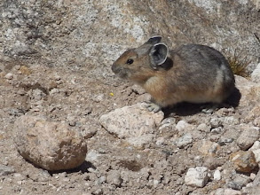 Photo: A pika, one of my favorite alpine critters. Photo by Bill Walker