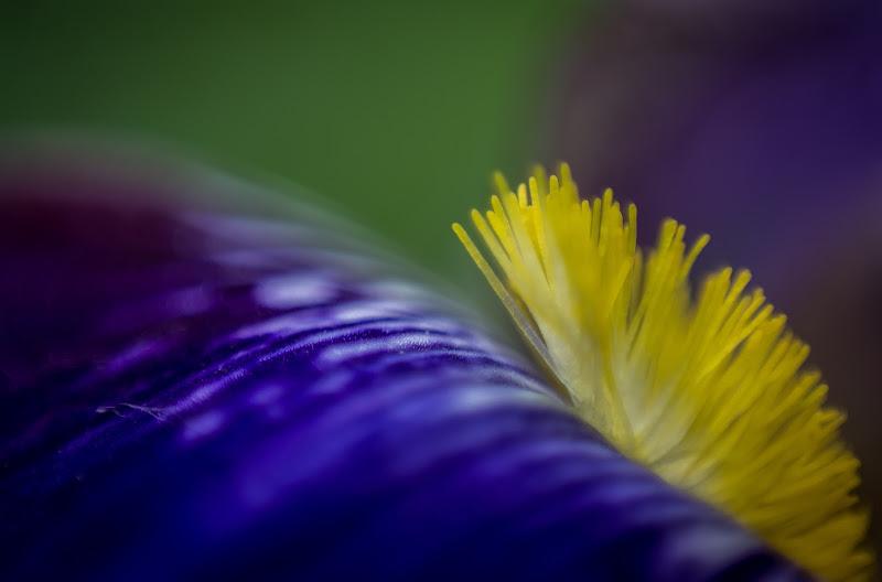 Iris di aliscaforotto