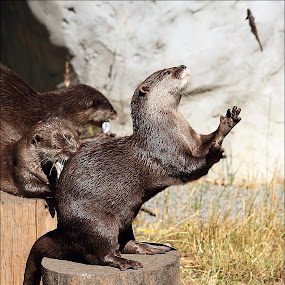 Otter Catch by Greg Van Dugteren - Animals Other