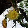 flor de la pitaya