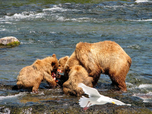 Saw eating the salmon with the cubs