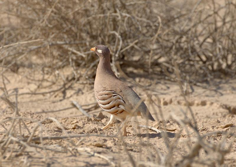 sand grouse_rsz.jpg