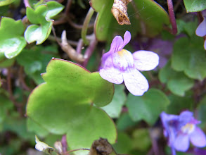 Photo: Kenilworth ivy, Cymbalaria muralis