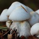 Onion-stalk Lepiota Mushroom