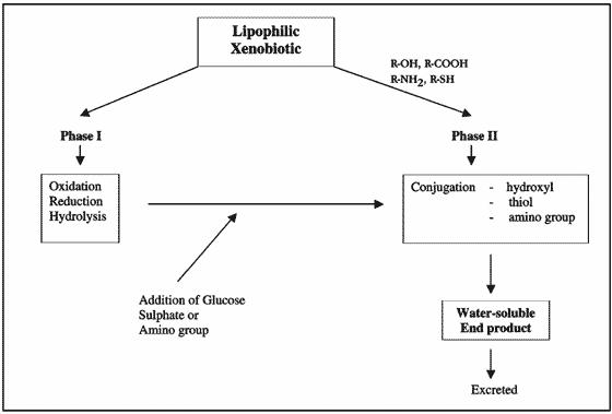 Phase I and II detoxification of xenobiotics