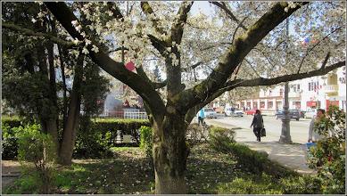 Photo: Magnolie (Magnolia) - din Piata Republicii, spatiu verde din fata Catedralei - 2018.04.12