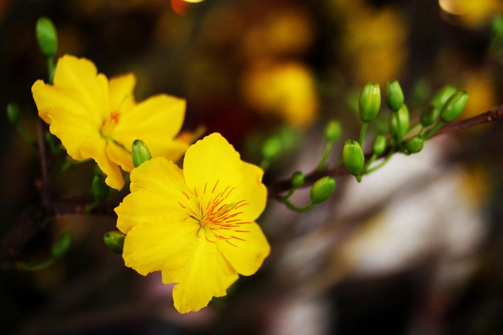 Hoa đẹp dùng làm hình nền tết Đinh Dậu 2017