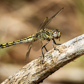 Blue-Skimmer,female by Erica Siegel - Animals Insects & Spiders ( gragonfly eating mosquito, female blue skimmer, blue skimmer, dragonfly, insect )