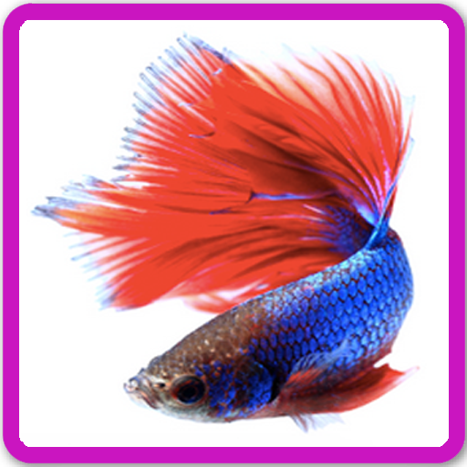 Download Betta Fish Live Wallpaper Google Play Softwares