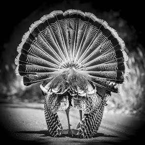 Wild Turkey in Full Regalia by Adam Collins - Animals Birds ( bird, turkeys, black and white, dressed, plumage, square )