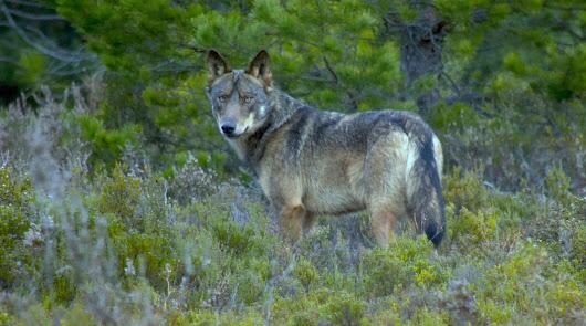 El lobo, a sus anchas