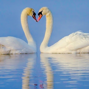 Loving Swans by Mann Renzef - Animals Birds ( swans,  )