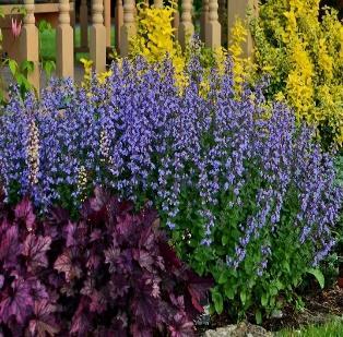 Nepeta faassenii 'Purrsian Blue' (S) | Catmint | Perennials | Plants |