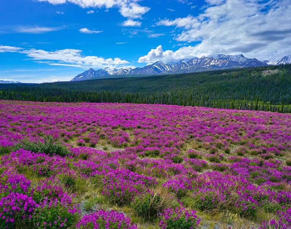 Miles and miles of wildflowers and smiles - Kluane National Park, Canada