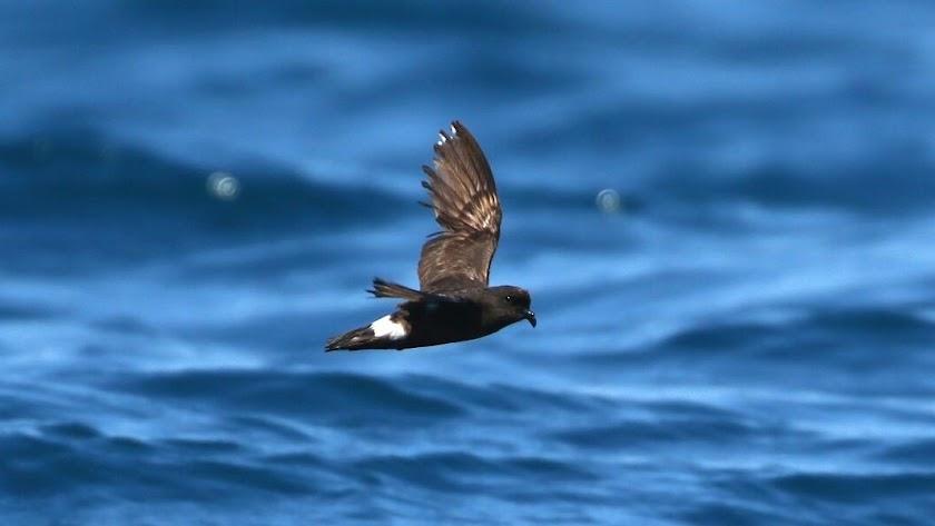 El paíño mediterráneo, a pesar de su pequeño tamaño, recorre miles de kilómetros. Foto de Víctor París (SEO/Birdlife).