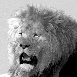 King Of The Jungle 1 Black And White by RMC Rochester - Black & White Animals ( macro, random, nature, animal, black and white, abstract, lion )