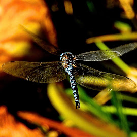 Secret Pond Dragonfly by Campbell McCubbin - Animals Insects & Spiders ( dragonfly, pond, blue, wings, flying, hovering )