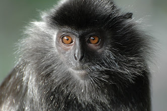 Photo: Silver Langor monkey at Labuk