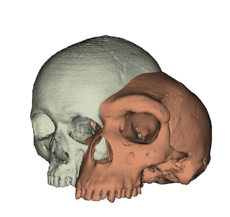 Model of a modern human cranium (left) shown next to a model of an archaic human (Kabwe 1) (right).