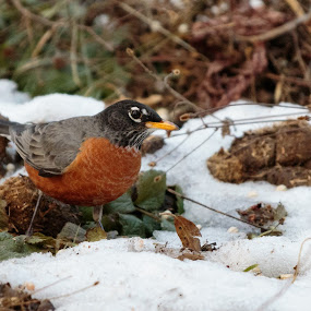 Robin in the snow by Angie Birmingham - Animals Birds ( bird, robin, green, snow, eating )