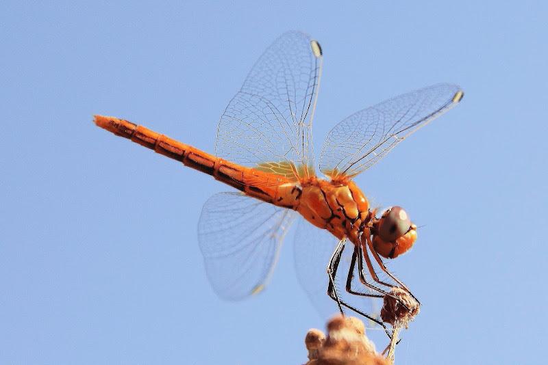 La... rarissima libellula olandese dal ciuffetto di giacominet