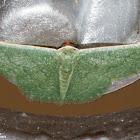 Small Mediterranean Emerald