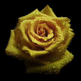 by Joey Yambor - Flowers Single Flower ( close up, winner, yellow rose, single flower, rose, water drops )