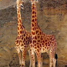 Hey, regarde en haut by Gérard CHATENET - Animals Other Mammals