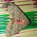 Olepa moth