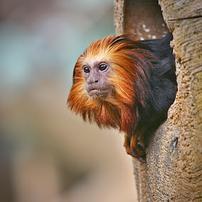 Golden-Headed Lion Tamarin Monkey by Jerry Ehlers - Animals Other Mammals ( golden-headed, tulsa, zoo, oklahoma, lion tamarin, black, monkey, red head )