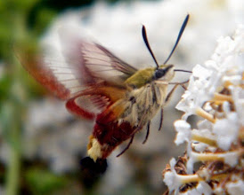 """Photo: Le """"sphinx gazé"""" en vol stationnaire devant une fleur de buddleia. Ressemble au """"Moro-sphinx"""" mais ses ailes sont transparentes tandis quelles sont opaques chez le Moro."""