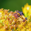 Jagged Ambush Bugs (Coupling)