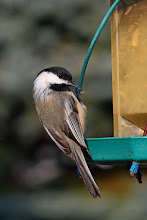 Photo: #BackyardBirdingMonday curated by +Celeste Odono and +Ricky L Jones  A Black-capped Chickadee training for Cirque du Soleil. I'll throw it on the #BirdPoker Portraits table as well, curated by +Phil Armishaw